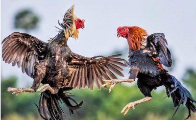 3 mô hình chuồng nuôi gà chọi với số lượng nhỏ