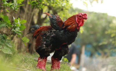 Cách để phân biệt giống gà Đông Tảo lai và thuần chủng