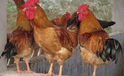 Giống gà ri thuần chủng có gì đặc biệt
