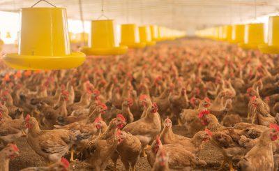Hướng dẫn cách nuôi gà ri từ a đến z