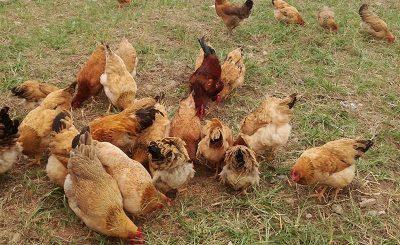 Hướng dẫn làm chuồng gà nuôi thả vườn