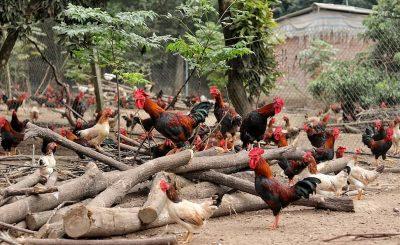 Hướng dẫn làm chuồng nuôi gà bán chăn thả