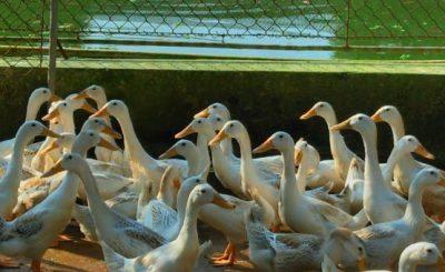 Hướng dẫn vệ sinh chuồng trại chăn nuôi ngan, vịt