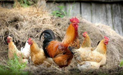 Hướng dẫn xây dựng chuồng trại nuôi gà khoa học