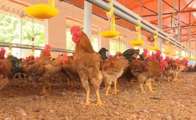 Mô hình nuôi gà trên nền đệm lót sinh học
