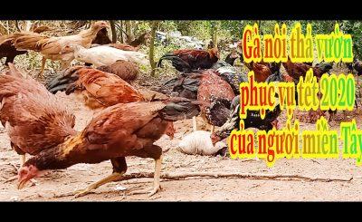 Kỹ Thuật Nuôi Gà Nòi Thịt 2021