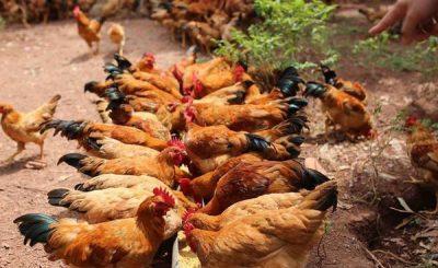 Làm sao để diệt mạt gà mà không làm hại đến gà?