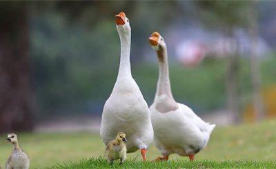 Những bệnh thường gặp ở ngỗng trong quá trình chăn nuôi (P2)